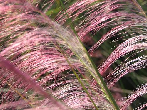 Pinkgrasssiestajpg (500 x 375)
