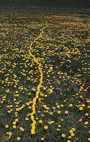 Yellowlinedandelion