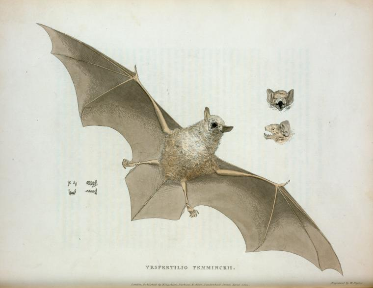 Animal-bat-flying-6