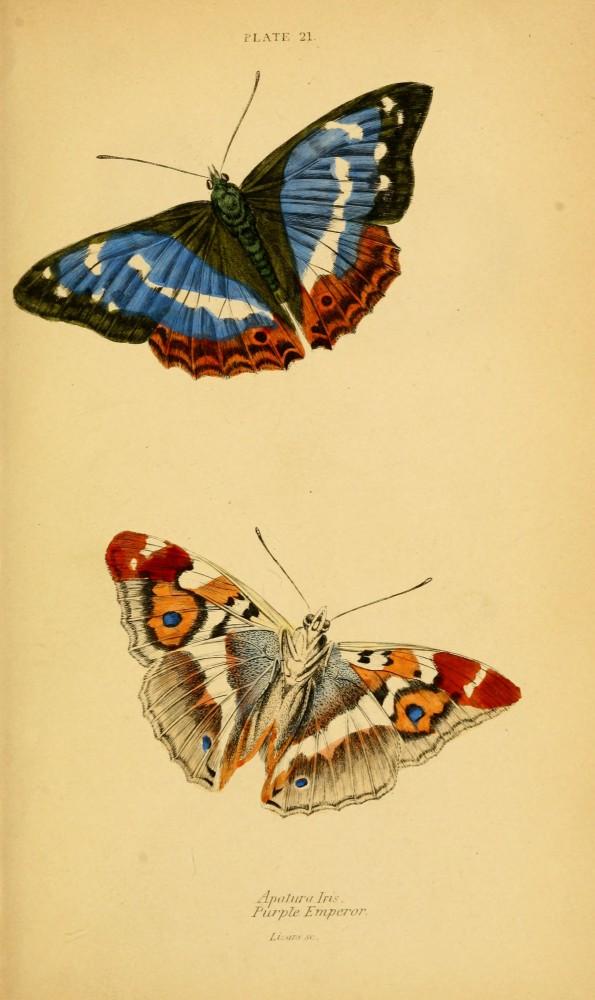 Butterflies-Natural-History-of-BRitish-Butterflies-Plate-21-595x1000