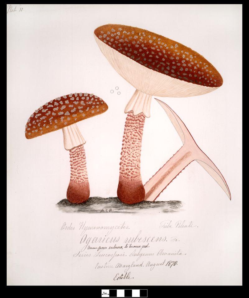 Mushroom-agaricus-rubescens-pers