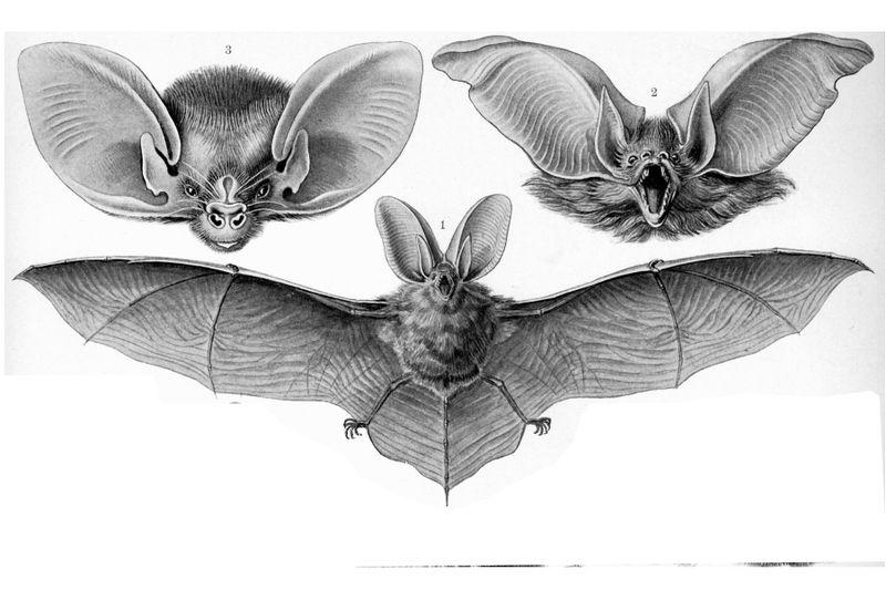 Animal-bat-haeckel-bat-face4