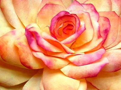 Rosesquare2