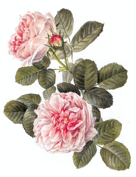 Roses_460_x_600