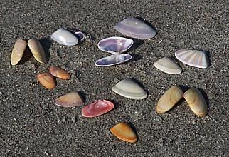 Coquina_shells_104_2364