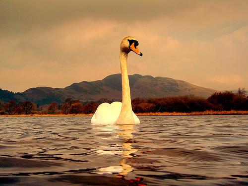 Swan_by_nicolas_valentin