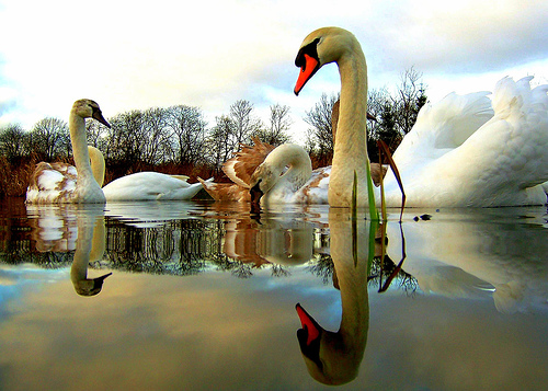 Swans_by_nicolas